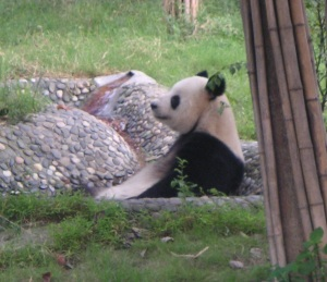 Giant Panda at Chengdu Panda Base