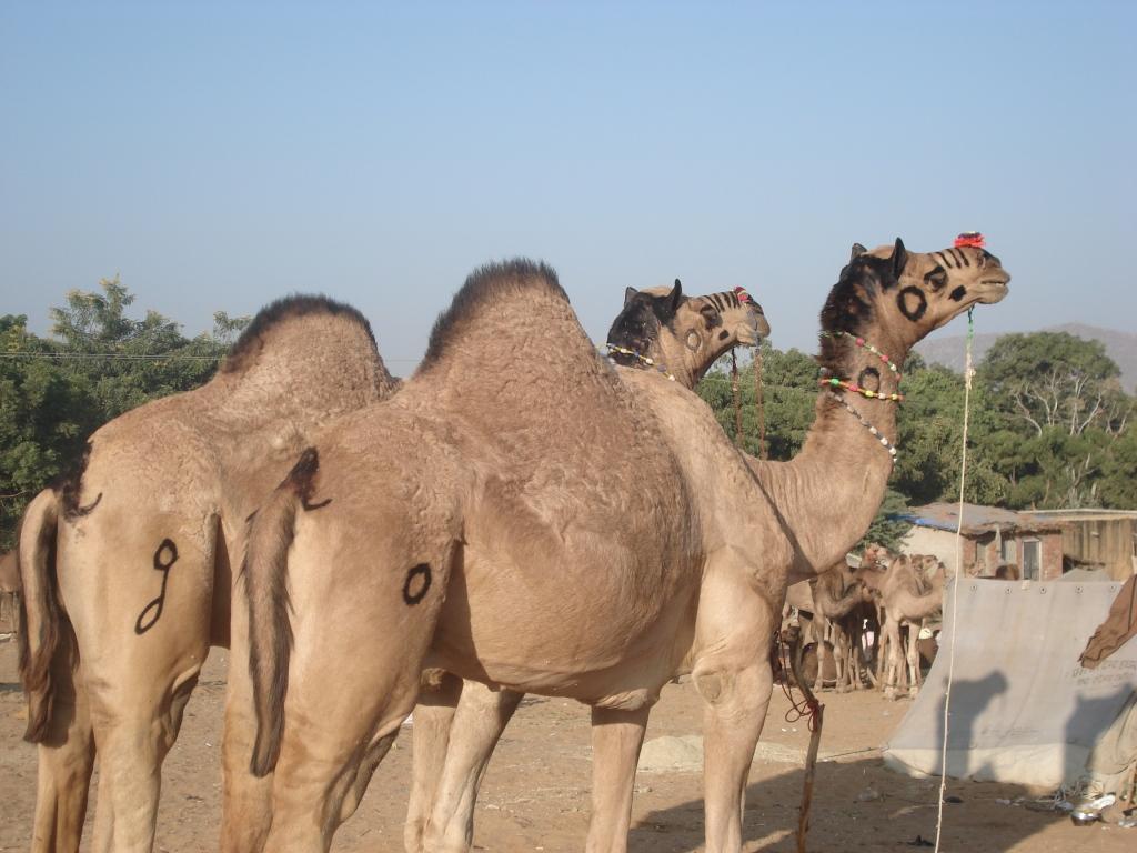 Pushkar Camels by Gloria DeLuca