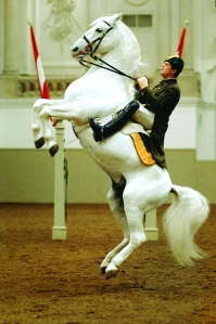 Leaping lipizzaner