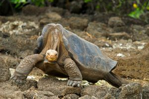 Lonesome George walking in 2008