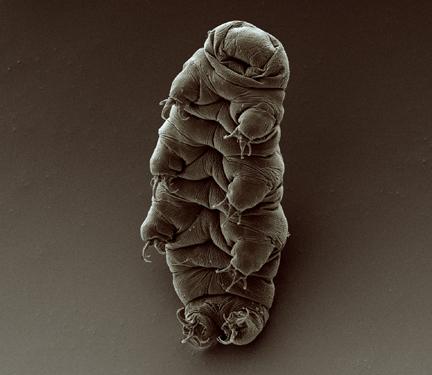 Adult_tardigrade